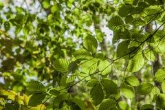 Foglie verdi contro un cielo soleggiato - autunno in Inghilterra fotografie stock libere da diritti