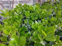 Foglie verdi crescenti vibranti e sane immagini stock