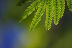 Foglie verdi dei albiziae immagine stock