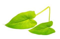 Foglie verdi dei fiori e delle piante isolati su fondo bianco Fotografie Stock