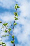 Foglie verdi dei giovani contro il cielo blu Immagini Stock