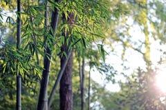 Foglie verdi del bambù con sole Immagine Stock Libera da Diritti