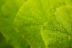 Foglie verdi del cetriolo immagini stock libere da diritti