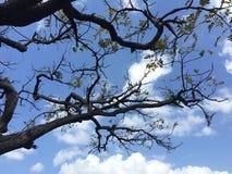 Foglie verdi del cielo blu dell'albero Immagine Stock Libera da Diritti