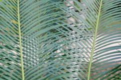 Foglie verdi del cycad Immagini Stock Libere da Diritti