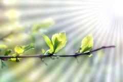 Foglie verdi del fondo della primavera giovani su un ramo che il sole sta splendendo fotografia stock