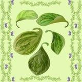 Foglie verdi del fondo di Peperomia illustrazione di stock