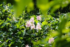 Foglie verdi del fondo verde dei fiori di bisbiglio immagini stock