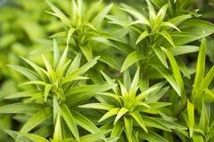 Foglie verdi del giglio Fotografia Stock