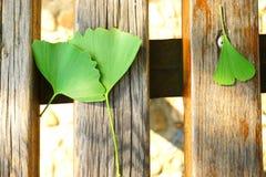 Foglie verdi del ginkgo sulla tavola di legno Immagini Stock