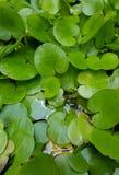 Foglie verdi del loto in stagno acquoso fotografia stock libera da diritti