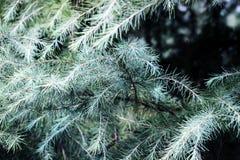 Foglie verdi del pino Immagini Stock