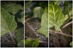 Foglie verdi del primo piano dell'insieme dell'edera retro Fotografie Stock Libere da Diritti