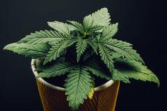 Foglie verdi del seedling^ della marijuana in un vaso su un fondo nero fotografia stock