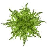 Foglie verdi del simbolo dell'ornamento del sole della felce isolate su bianco Fotografie Stock
