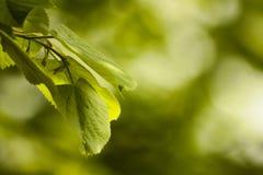 Foglie verdi del tiglio Fotografia Stock Libera da Diritti