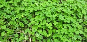Foglie verdi del trifoglio Immagini Stock