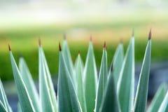 Foglie verdi dell'agave, Immagine Stock