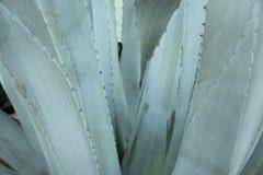 Foglie verdi dell'agave con il fondo della spina Cl di agava thorned verde Fotografia Stock Libera da Diritti