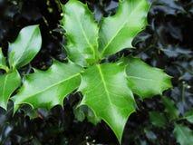 Foglie verdi dell'agrifoglio Fotografia Stock