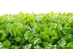 Foglie verdi dell'albero del giacinto d'acqua isolate su fondo bianco Immagini Stock Libere da Diritti
