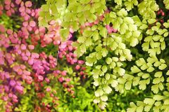 Foglie verdi dell'albero e foglie rosa nel fondo con luce solare dietro fotografia stock libera da diritti