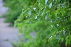 Foglie verdi dell'albero nell'ora legale fotografia stock