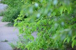 Foglie verdi dell'albero nell'ora legale immagine stock libera da diritti