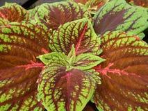 Foglie verdi dell'piante sane fotografie stock libere da diritti
