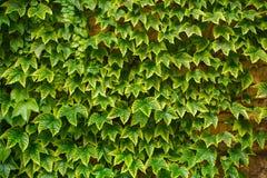 Foglie verdi dell'uva Fotografia Stock