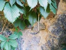 Foglie verdi dell'uva selvaggia Immagine Stock