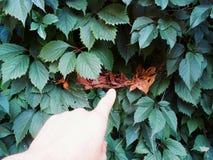 Foglie verdi dell'uva selvaggia Fotografia Stock Libera da Diritti