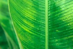 Foglie verdi della banana Fotografia Stock