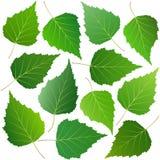 Foglie verdi della betulla Fotografie Stock