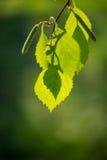Foglie verdi della betulla Fotografia Stock