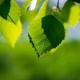 Foglie verdi della betulla Immagine Stock Libera da Diritti