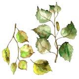 Foglie verdi della betulla Fogliame floreale del giardino botanico della pianta della foglia Fotografia Stock