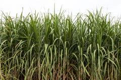 Foglie verdi della canna da zucchero Fotografia Stock