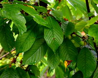 Foglie verdi della ciliegia Immagine Stock