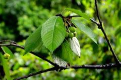Foglie verdi della ciliegia Immagine Stock Libera da Diritti