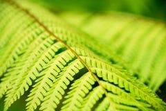 Foglie verdi della felce del primo piano per il fondo della natura fotografia stock libera da diritti