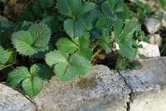 Foglie verdi della fragola con le gocce di rugiada di mattina Fotografia Stock