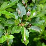 Foglie verdi della mela Immagini Stock