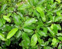 Foglie verdi della mela Immagini Stock Libere da Diritti