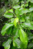 Foglie verdi della mela Fotografia Stock Libera da Diritti