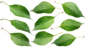 Foglie verdi della mela su bianco Fotografia Stock Libera da Diritti