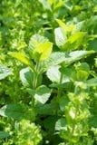 Foglie verdi della menta piperita nell'orto immagine stock libera da diritti