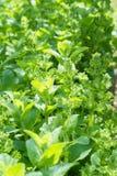 Foglie verdi della menta piperita nell'orto immagini stock libere da diritti
