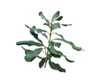 Foglie verdi della noce di macadamia isolate su bianco fotografia stock