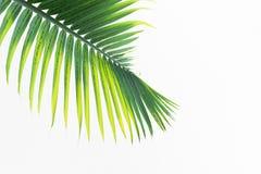 Foglie verdi della palma Immagine Stock
